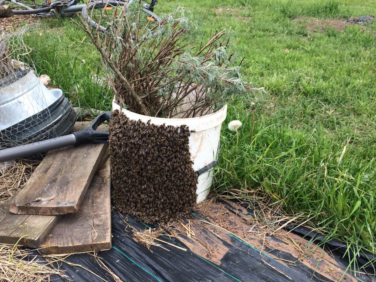 Die entflohenen Bienen (IV)