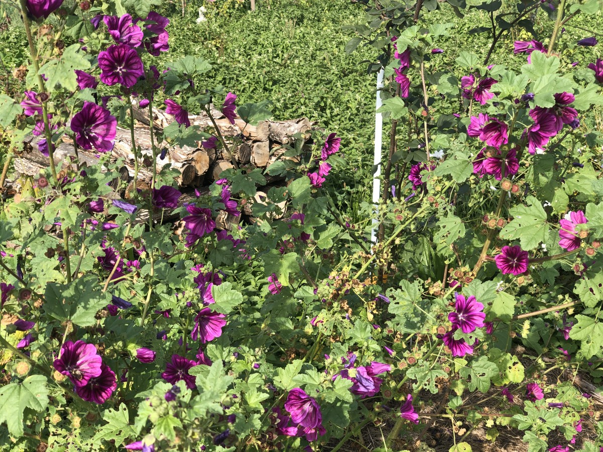 Die bunten Malven – eine Blütenpracht