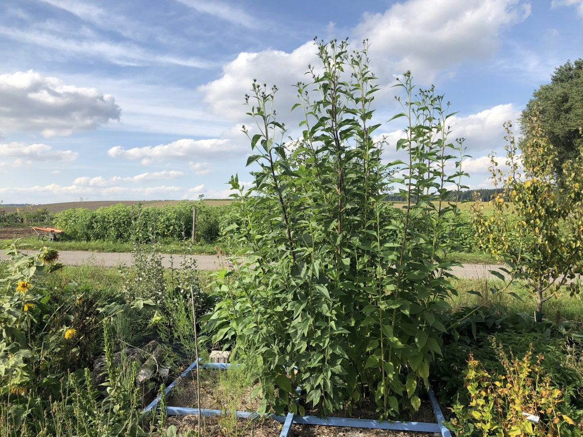Topinambur – eine stolze Pflanze