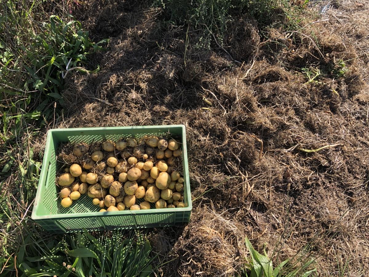 Kartoffeln im Waldgarten