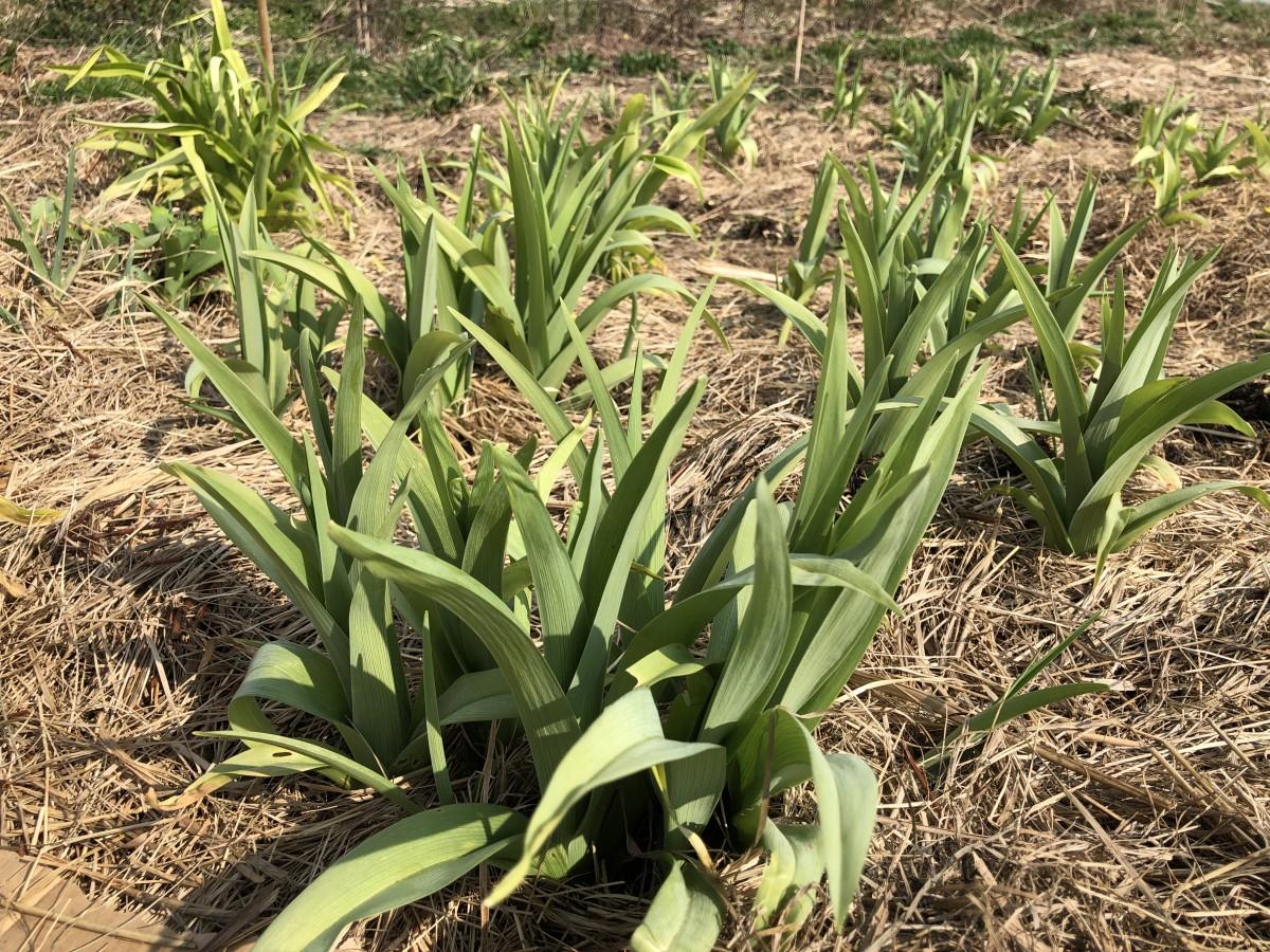 Taglilie, mal in Grün zum Essen