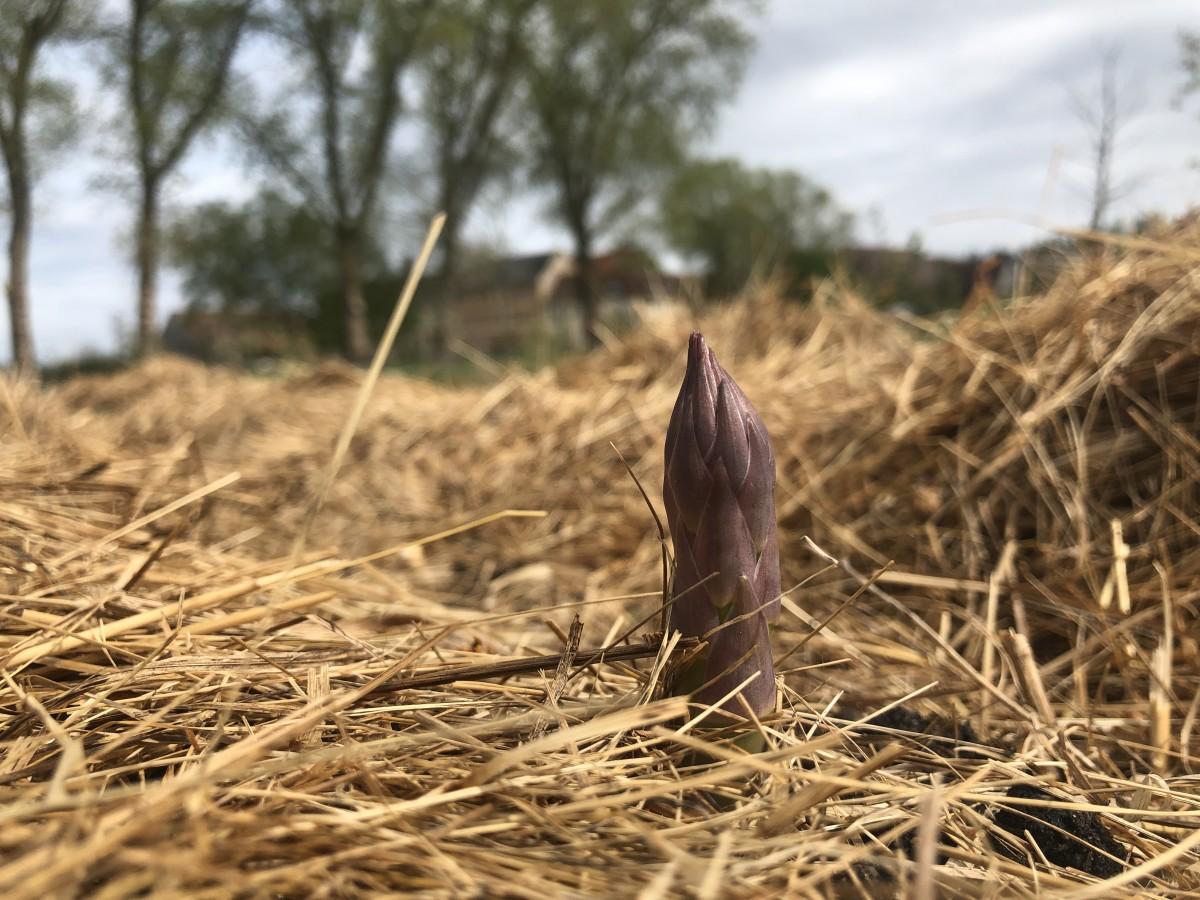 Der violettköpfige Grünspargel – endlich!