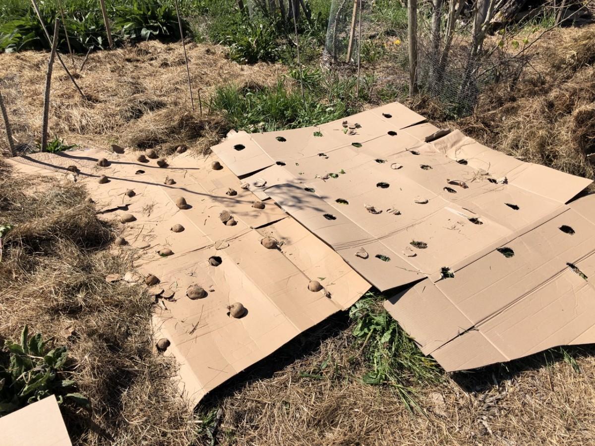 Kartoffeln im Waldgarten zur Unkrauunterdrückung